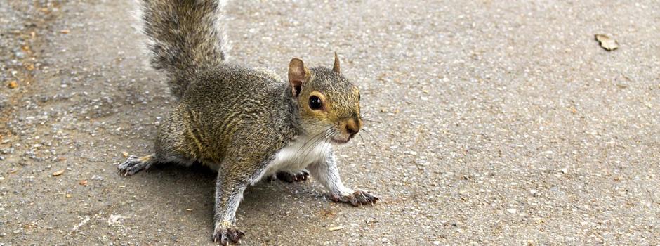 squirrel-control